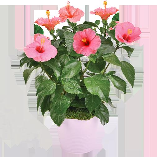 Plantes vertes et fleuries Hibiscus rose