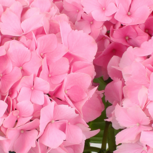 Plantes vertes et fleuries Hortensia rose