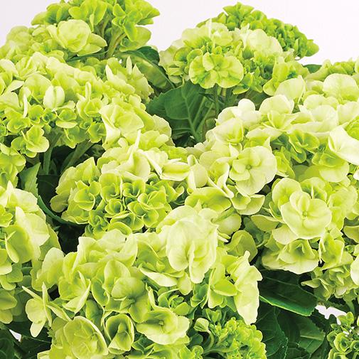 Plantes vertes et fleuries Hortensia