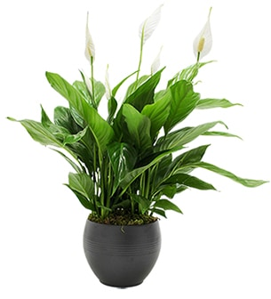 Plantes vertes et fleuries SpathiphyllumCollection Homme Trendy