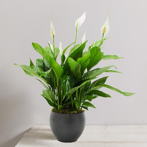 Plantes vertes et fleuries Spatiphyllum