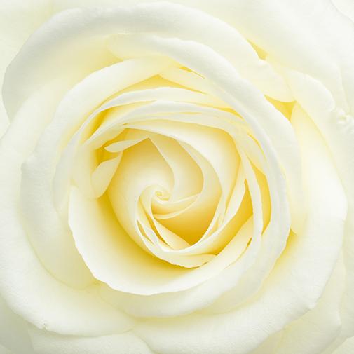 Bouquet de fleurs Etoile des neiges