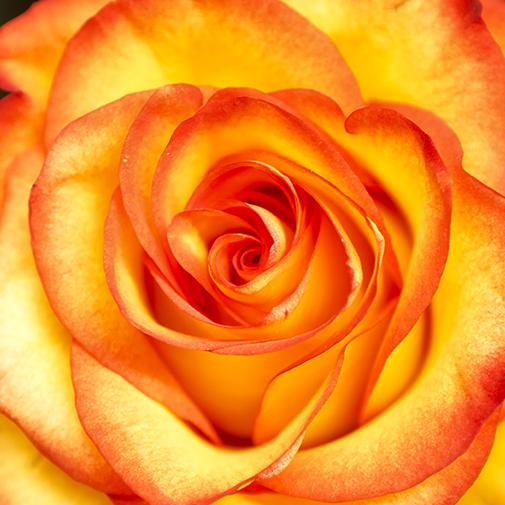 Bouquet de fleurs Brassée de roses multicolores et sa friture en chocolat
