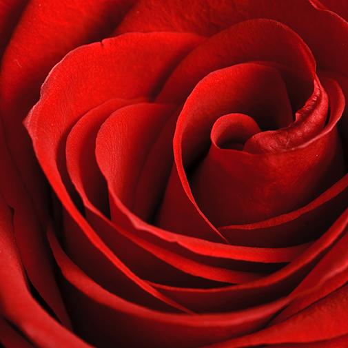 Fleurs et cadeaux Brassée de 20 roses et son écrin FAUCHON