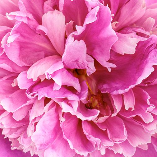Bouquet de fleurs Brassée de 15 pivoines