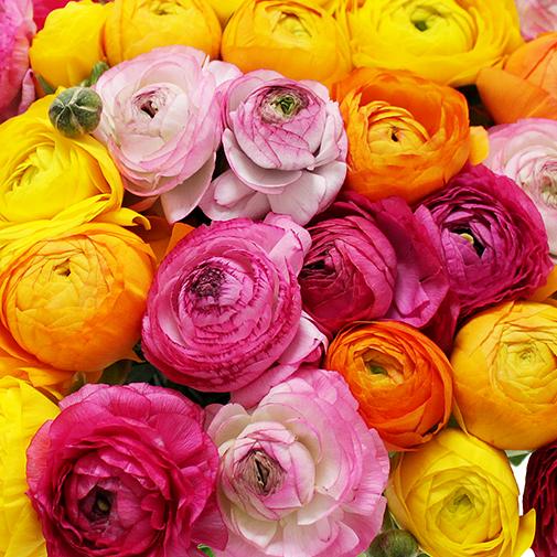 Fleurs et cadeaux Brassée de renoncules