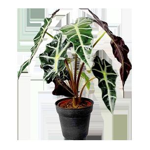 Plantes vertes et fleuries Alocasia amazonica + cache pot