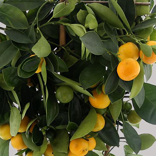 Fleurs et cadeaux L'agrume et ses jus