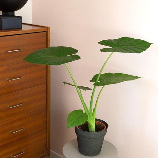 Plantes vertes et fleuries Alocasia + cache pot