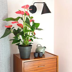 Plantes vertes et fleuries Anthurium Collection Pour le plaisir