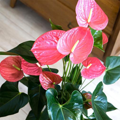 Plantes vertes et fleuries Anthurium + cache pot