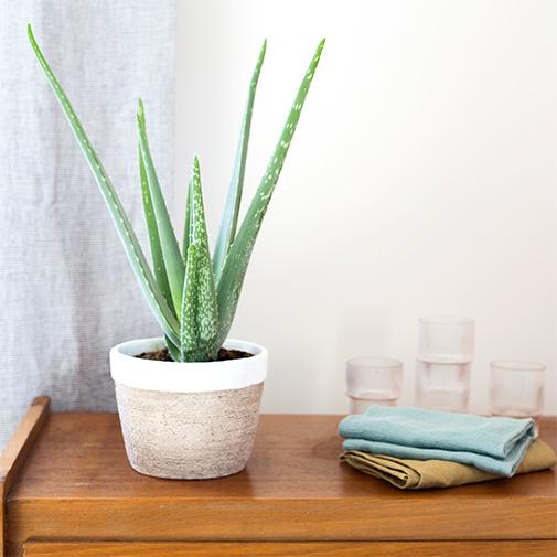 Plantes vertes et fleuries Aloe vera + cache pot