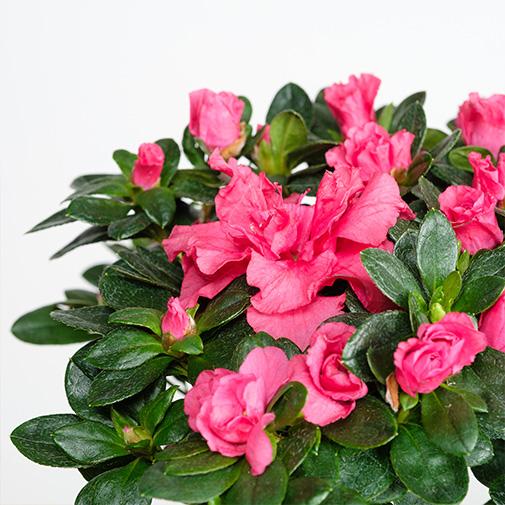 Bouquet de fleurs Azalée