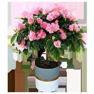 Plantes vertes et fleuries Azalée + cache pot Nouvel An