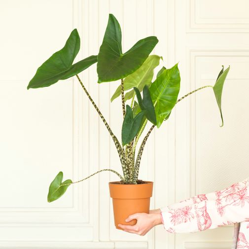 Plantes vertes et fleuries Alocasia Zebrina