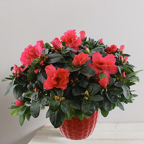 Plantes vertes et fleuries Azalée rouge