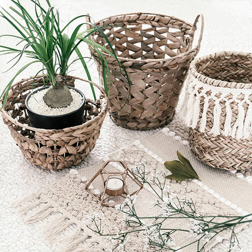 Plantes vertes et fleuries Beaucarnéa