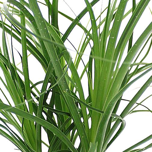 Beaucarnea plantes l 39 atelier interflora interflora for Fleuriste livreur