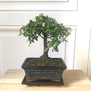 Bonsai - interflora