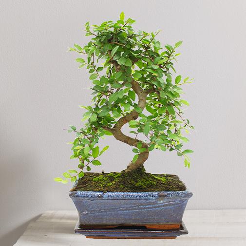 bonsa collection plantes livraison par colis fleurs l 39 atelier interflora interflora. Black Bedroom Furniture Sets. Home Design Ideas