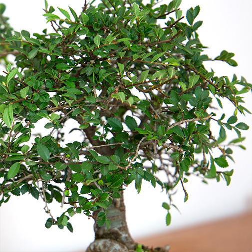 Plantes vertes et fleuries Bonsai Zelkova Parvifolia