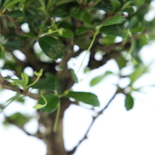 Plantes vertes et fleuries Bonsai Carmona