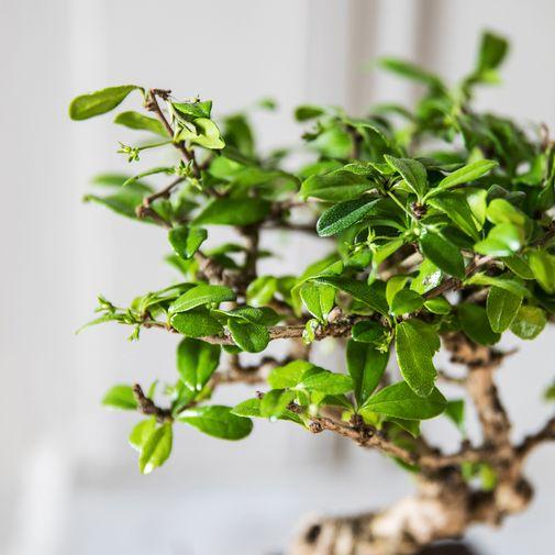 Plantes vertes et fleuries Bonsaï Carmona