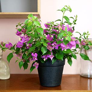 Plantes vertes et fleuries Bougainvillea + cache pot