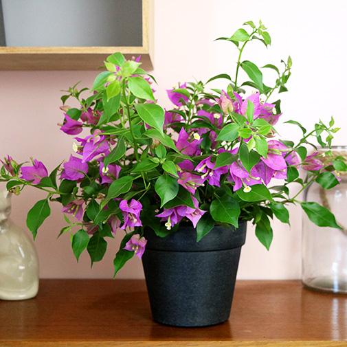 Plantes vertes et fleuries Bougainvillea
