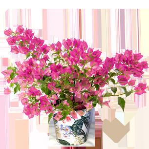 Bouquet de fleurs Bougainvillier