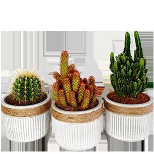 Plantes vertes et fleuries Trio de cactus - 20 cm Collection Hommes