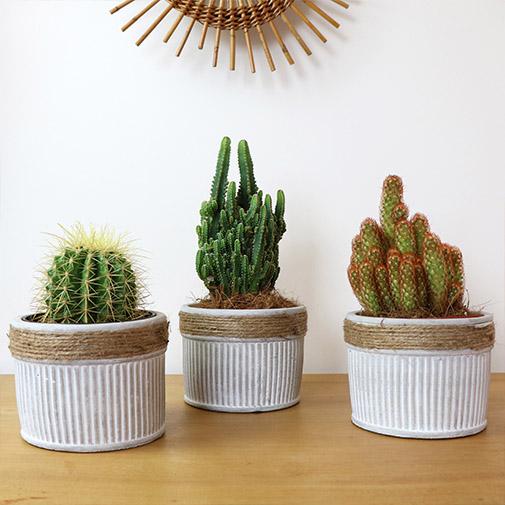 Plantes vertes et fleuries Trio de cactus - 20 cm