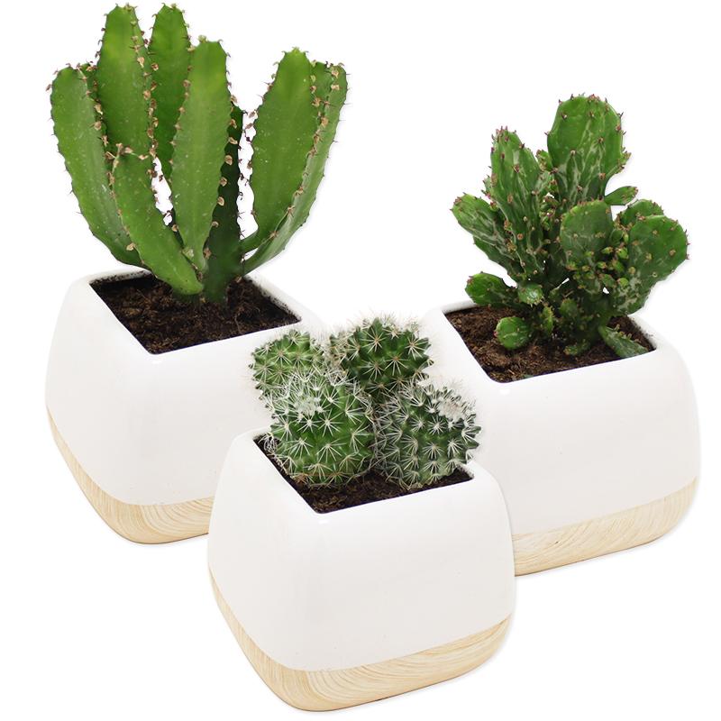 Cactus collection homme livraison par colis fleurs l for Fleuriste livreur