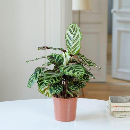 Plantes vertes et fleuries Calathea Makoyana