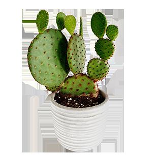 Plantes vertes et fleuries Cactus raquettes - 30 cm