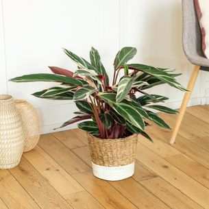 Plantes vertes et fleuries Calathea Triostar