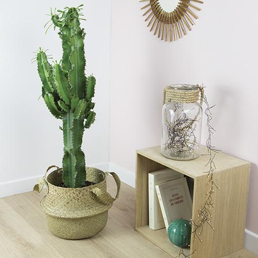 Plantes vertes et fleuries Euphorbe Ingens + cache pot