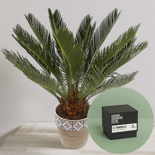 null Cycas et sa tisane Herbal Drinkers Club