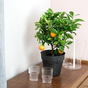 Plantes vertes et fleuries Calamondin Collection Homme Romantique