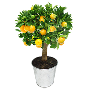 Calamondin - interflora