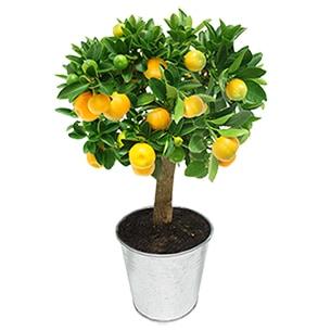 Calamondin - interflora