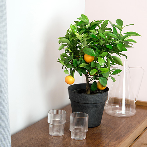 Plantes vertes et fleuries Calamondin + cache pot