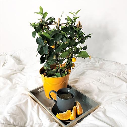Plantes vertes et fleuries Calamondin