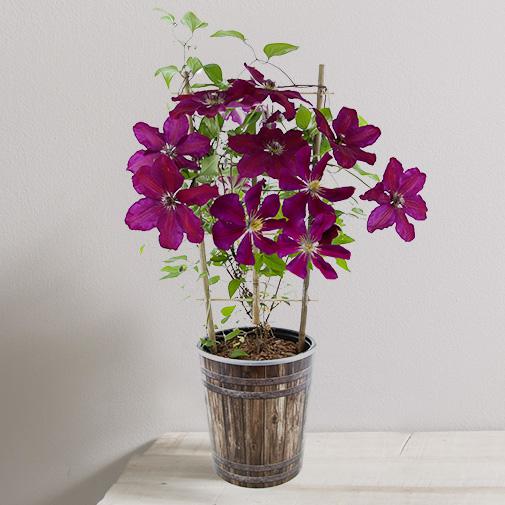Plantes vertes et fleuries Clématite en pot