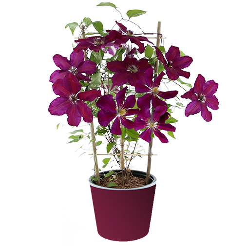 Plantes vertes et fleuries Clématite