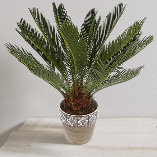 Plantes vertes et fleuries Cycas