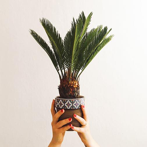 Plantes vertes et fleuries Cycas en pot