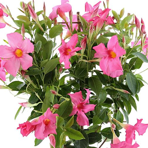 Bouquet de fleurs Dipladénia