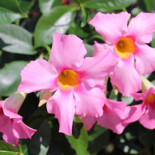 Bouquet de fleurs Dipladénia et son coffret L'occitane en Provence