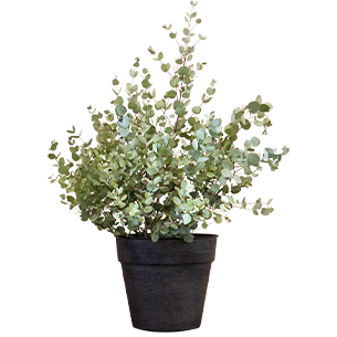 Plantes vertes et fleuries Eucalyptus + cache pot
